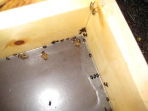 Hive Beetles?